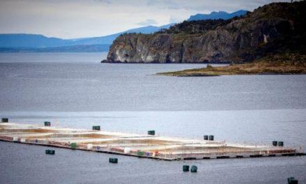 Organizaciones denuncian ausencia de protocolos de crisis en industria salmonera