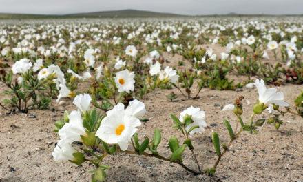 Las lluvias en el desierto de Atacama provocaron consecuencias inesperadas y hermosas