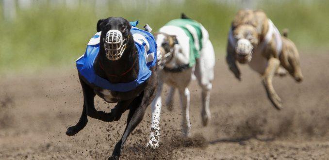 Carreras de galgos: La nueva lucha del mundo animalista
