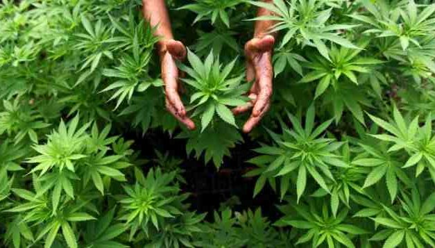 ¿Marihuana legal? El debate llega a Chile